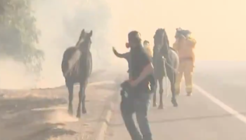 Instead Of Running To Safety From The Fires, This Horse Heroically Went Back For Other Horses