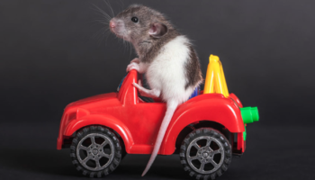 Rats Love Driving Tiny Cars, Even When They Don't Get Treats