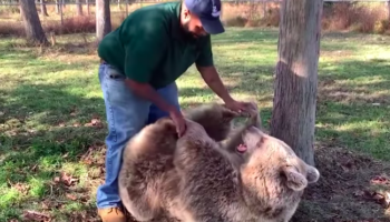 After Years Of Being Apart, An Orphaned Bear Plays With Her Human Carer In A Heartwarming Reunion