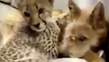 We Wanted To Know What Love Is, And This Cheetah Cub And Puppy Have Shown Us