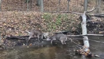 Man Uses A Tree Limb Saw To Untangle Two Deer Whose Antlers Were Stuck Together