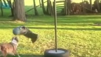These Two Dogs Playing Tetherball Together Is A Delightful Thing To Watch