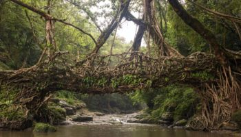 The Living Tree Bridges In India That Stand Strong For Hundreds Of Years