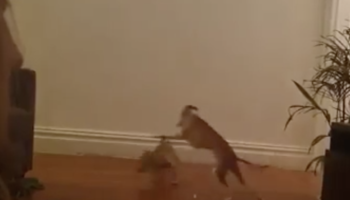 This Chihuahua Vs Greyhound Race Is The Real-Life Version Of A Scooby Doo Chase