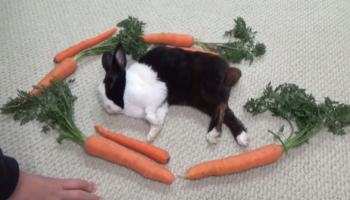 Rabbit Has Adorable Reaction Waking Up Surrounded By Carrots