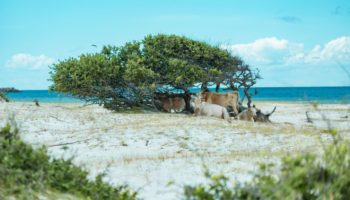 Three Cows Vanished During Hurricane Dorian. Months Later, They've Been Found Chilling On An Island Miles From Shore