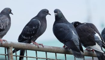 Pigeons Could Be Losing Their Toes Because Of Human Hair