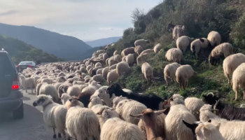 Try To Spot The Dog Among The Sheep