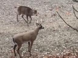 Suspicious Deer Encounters A Decoy Deer In The Woods, Snaps It In Half