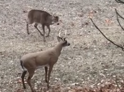Suspicious Deer Encounters A Decoy Deer In The Woods, Snaps It In Half