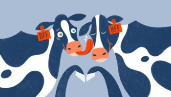 Do Cows Need Friends?