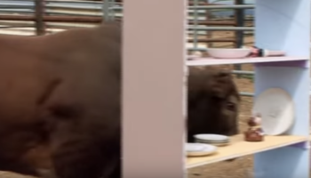 What Actually Happens When You Let A Bull Loose In A China Shop?
