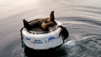 These Sea Lions Are Very Sorry, But There Isn't Any More Room On Their Buoy