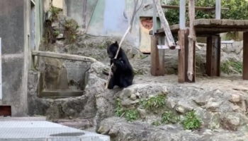Please Respect This Bear's Process As He Learns To Twirl A Very Long Stick