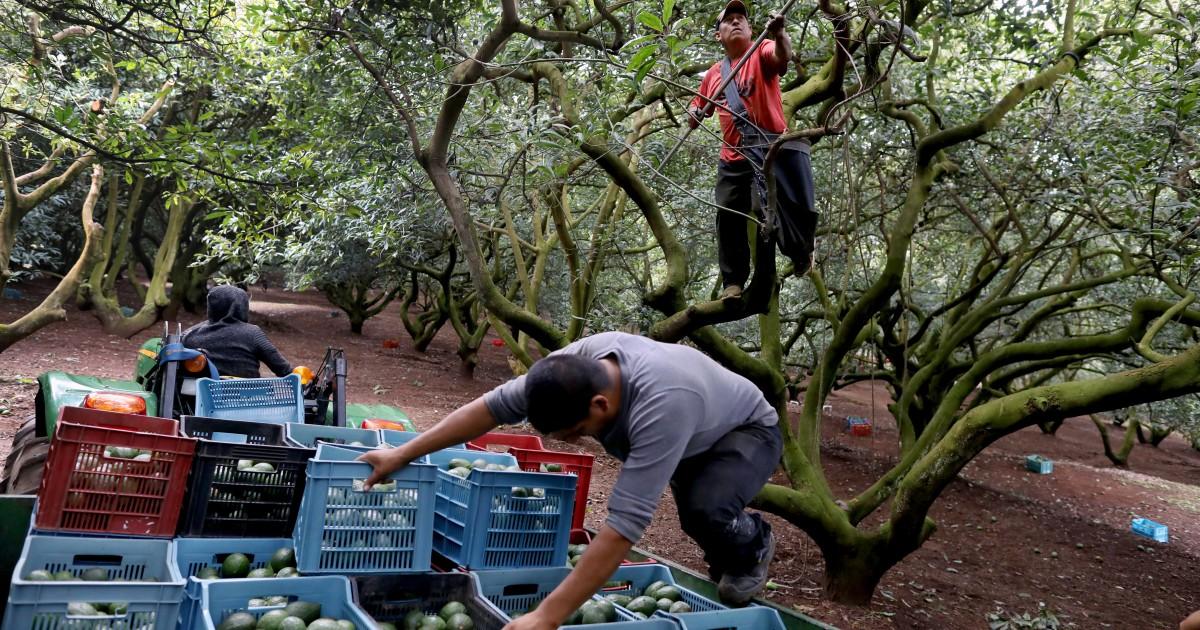 Inside The Bloody Cartel War For Mexico's Multibillion-Dollar Avocado Industry
