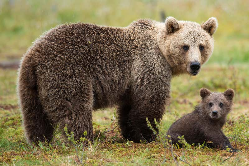 Female Brown Bears Hang Out Near Humans To Keep Cubs Safe From Males