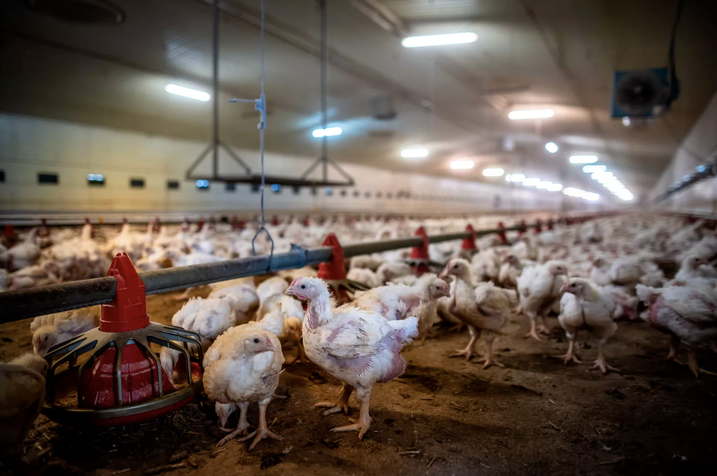 Replacing Beef With Chicken Isn't As Good For The Planet As You Think