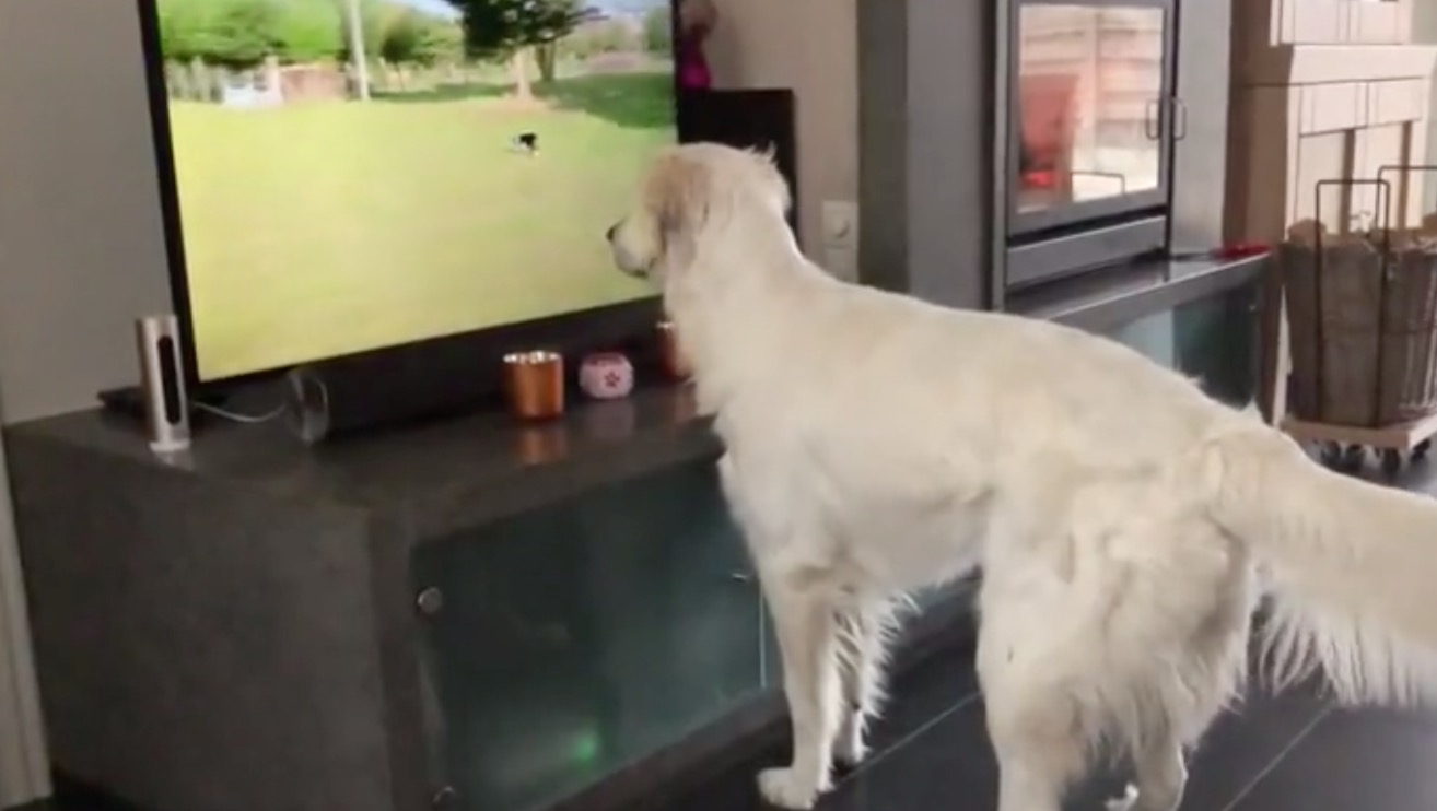 Golden Retriever Desperately Wants To Play With Dog On The TV