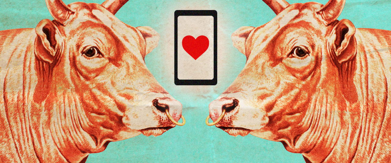 On Tudder, The 'Tinder For Cows,' Courtship Is A High-Steaks Game