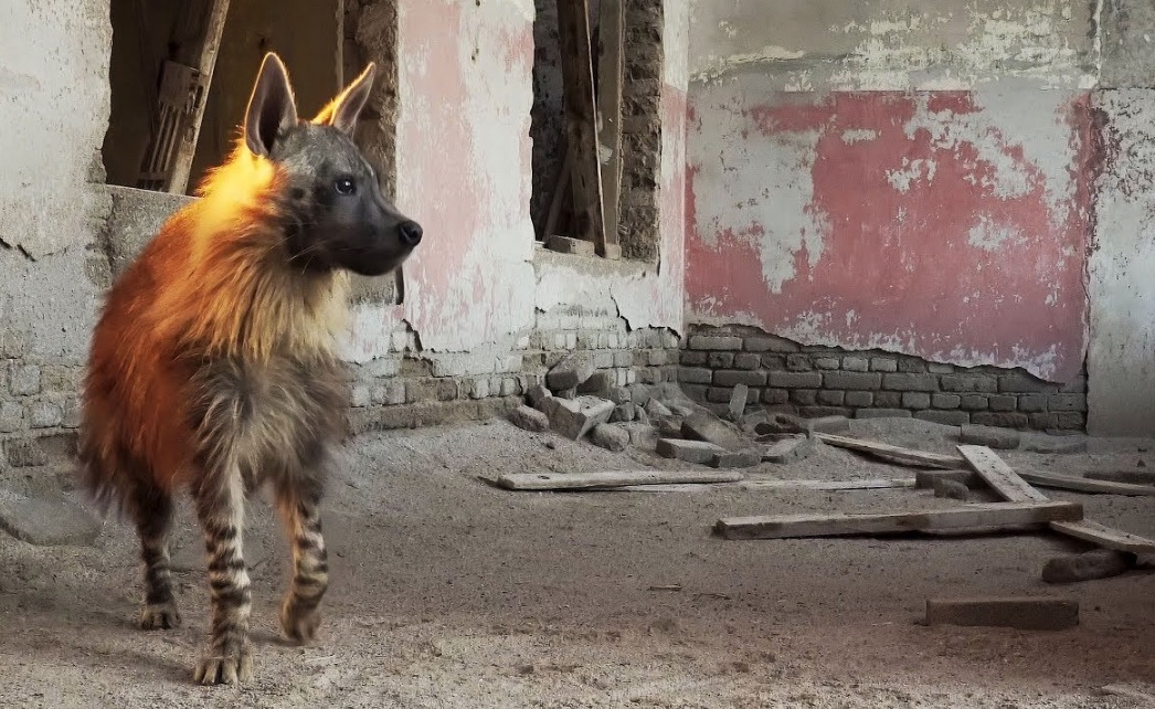 Watch How Brown Hyenas — The Rarest Predators In Africa — Live In This Quaint Ghost Town