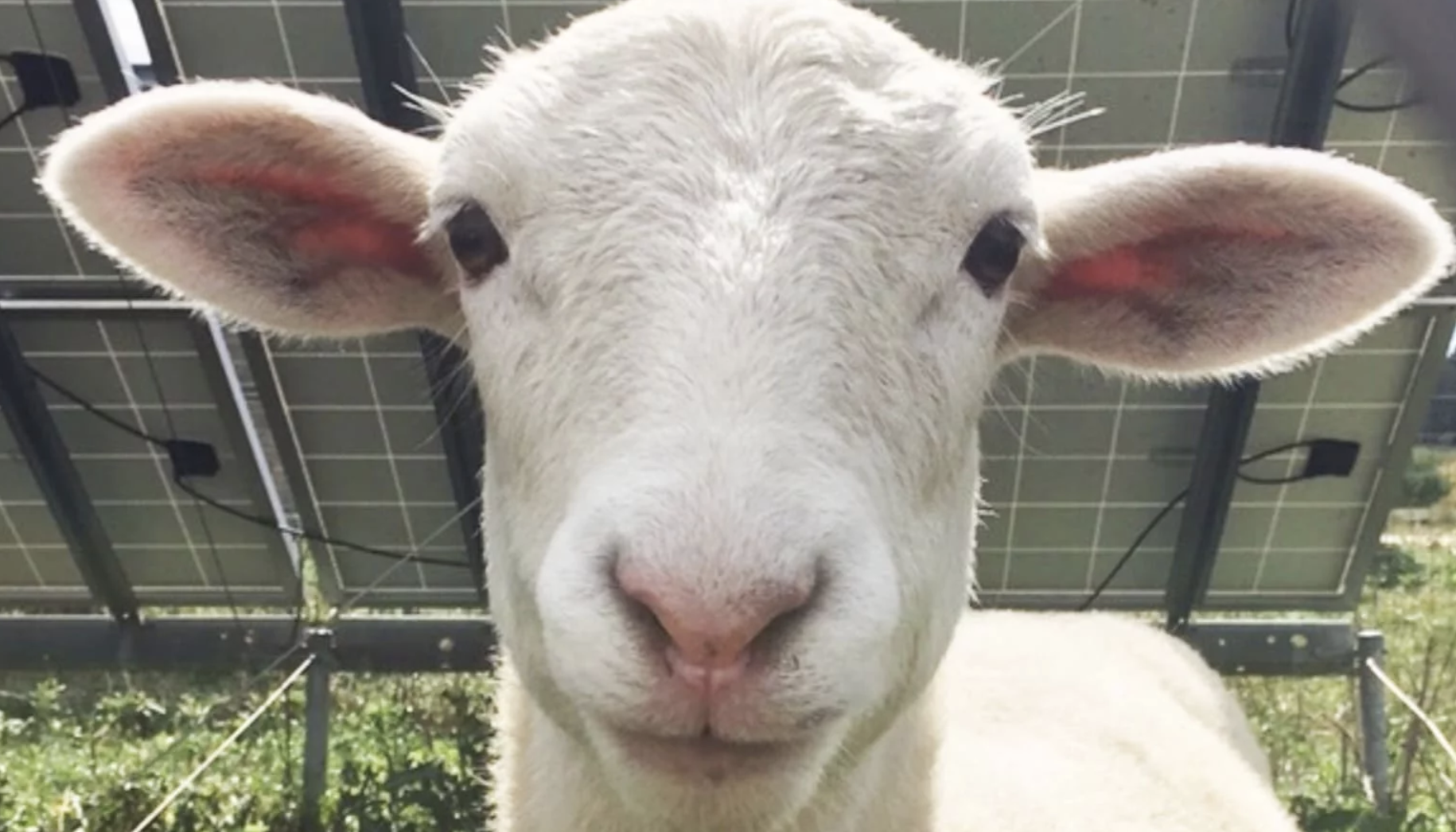 Nine Lambs At Center Of Antioch College Animal-Rights Fight Are Missing. No One Will Say Where They Are