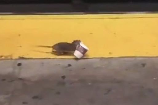 Rat Seen Scampering Off On Subway Platform With A Cup Of Coffee