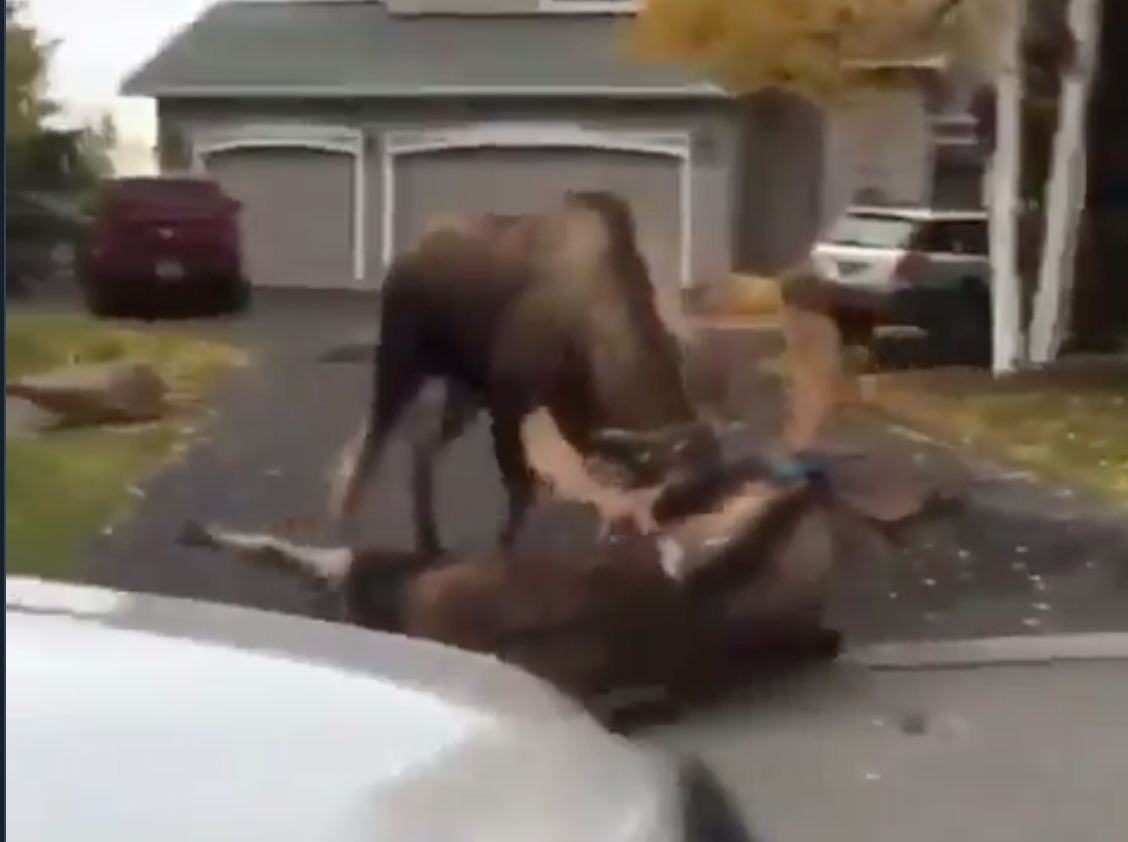 Actor Michael Rapaport  Dubs The Most Hilarious, Profanity-Filled Reaction To Video Of Two Moose Fighting On The Driveway