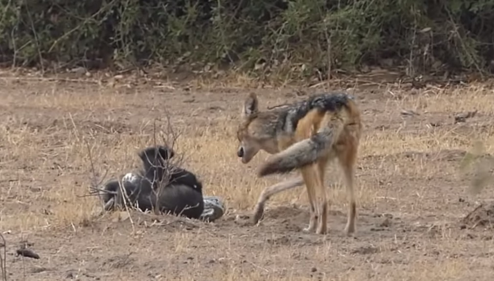 Jackals Free Honey Badger From Python, Ungrateful Honey Badger Steals Their Dinner