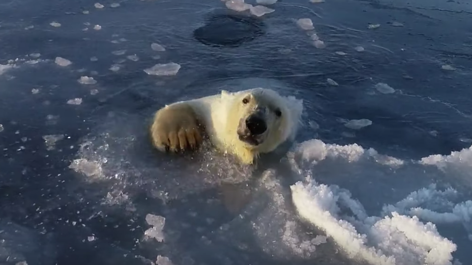 Polar Bears Play A Magnificent Game Of Reverse Whac-A-Mole As They Hunt For Drone Underneath Ice