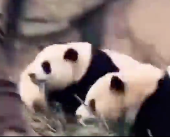 We Thought Pandas Moved Slowly, Then We Saw Them React To An Earthquake