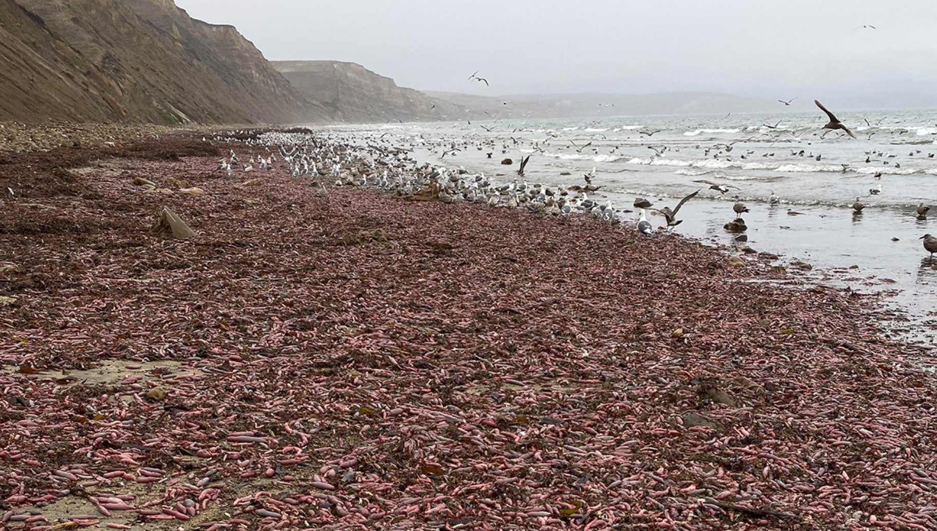 Naturally, 2019 Closes With Thousands Of 10-Inch Pulsing 'Penis Fish' Stranded On A California Beach