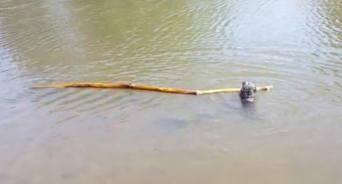 This Small Poodle Trying To Fetch A Stick At Least Five Times His Length Is The Perfect Definition Of 'Overreaching'