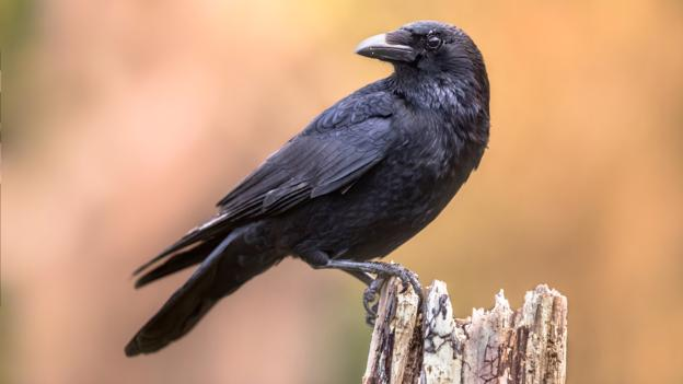 Crows Could Be The Smartest Animal Other Than Primates