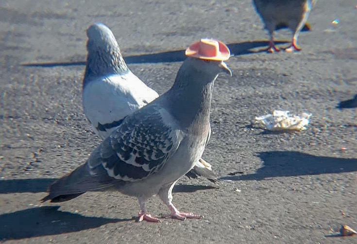Those Pigeons Wearing Cowboy Hats? They're No Laughing Matter
