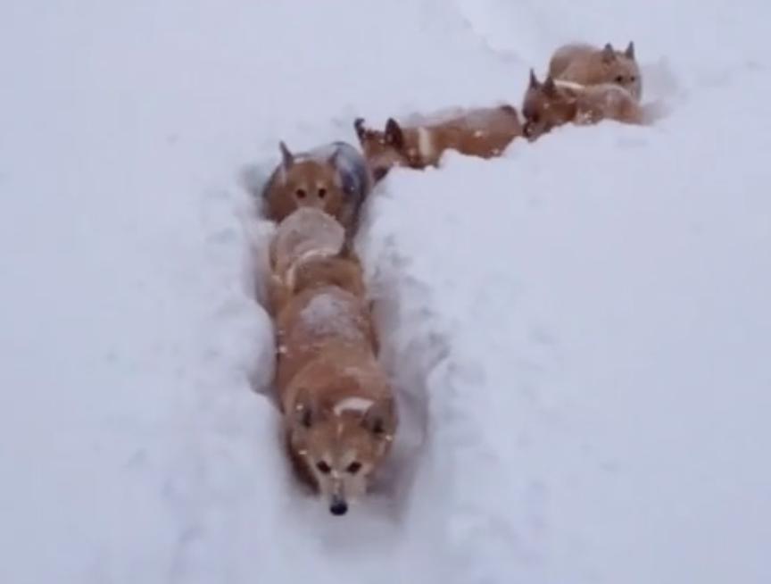 A Train Of Corgi Adorably Make Their Way Through The Snow