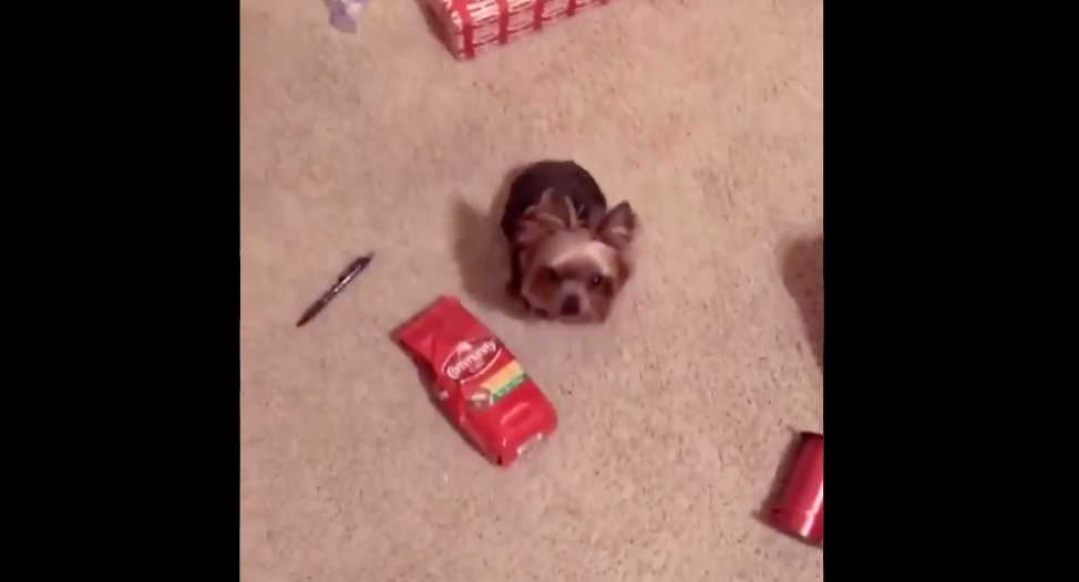 Dog Falls Head Over Heels In Love With Bag Of Coffee, Will Literally Follow It Wherever It Goes