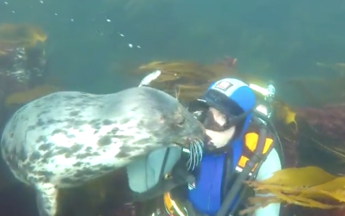 Very Affectionate Seal Can't Stop Giving Scuba Diver Hugs