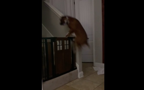 This Gate Can't Stop This Dog From Getting Her Favorite Toy