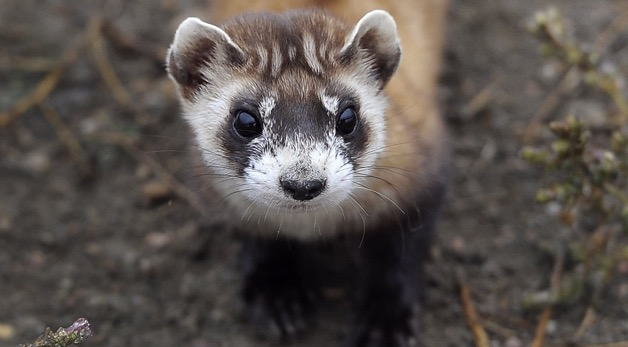 The Race to Conserve America's Black-Footed Ferrets