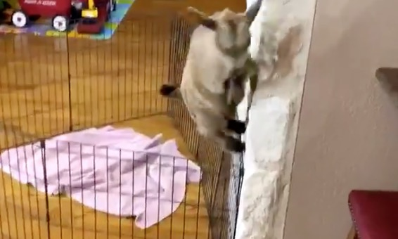 Mom Gets Her Kid A Pet Goat As A Gift, Immediately Regrets It