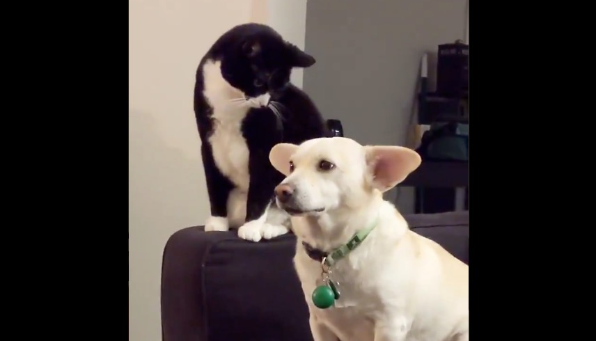 Cat Deliberates Very Carefully About Whether To Smack Dog, Makes The Wrong Decision