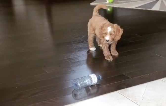 Hilarious Puppy Absolutely Hates This Plastic Water Bottle