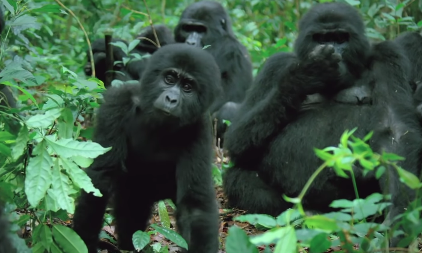 This Video Of A Baby Gorilla Robot Trying To Be Accepted By A Real Alpha Gorilla Has Us Nervously Holding Our Breaths