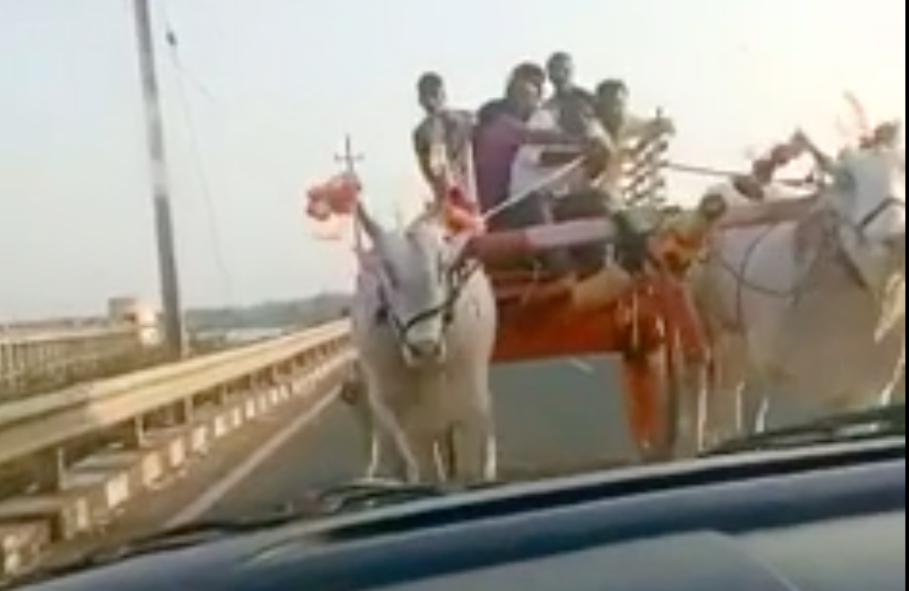 Car Meets Carriage Driven By Oxen On The Street. Car Does Not Fare Well