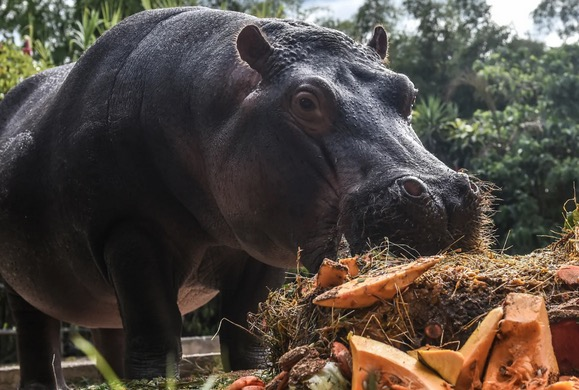 Pablo Escobar's Horny Hippos Won't Stop Sh*tting All Over Colombia