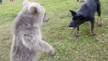 A Dog And A Bear Cub Have A Jolly Good Time Wrestling With Each Other