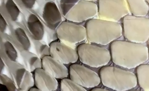 This Sound Of This Snake Shedding Its Skin Is Unexpectedly Satisfying
