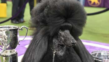 This Is The Closest We'll Come To Reading An Interview With A Dog: A Chat With Westminster Winner Siba's Handler