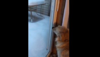 Desperately Excited Dog Gets To Play In The Fresh Snow, Immediately Changes Its Mind
