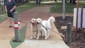 This Video Of Two Golden Retrievers Attempting To Carry A Massive Stick Across The Street Is The Sweetest Thing You'll See Today